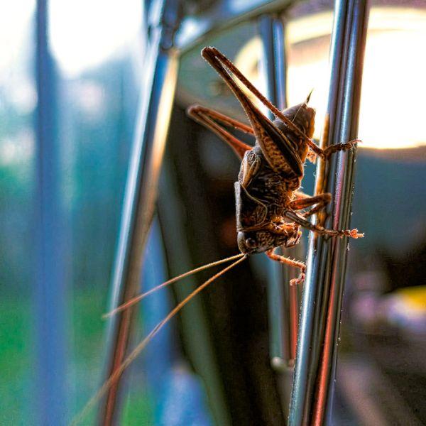 Grashopper visiting