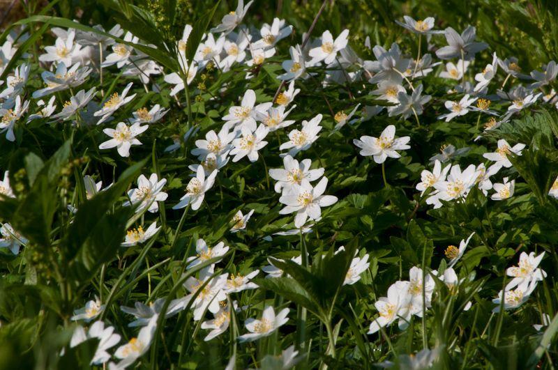 Anemones in the spring sun