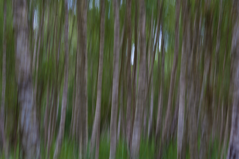 Birch trees in motion