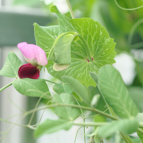 Lathyrus / Sweat pea blossoming