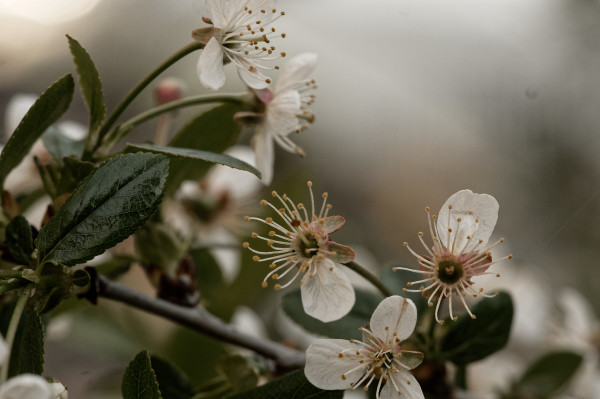 Male plum flowers reaching out