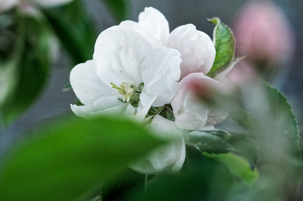 Blooming apple with leaves