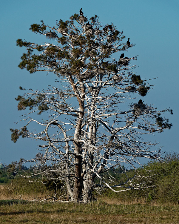 Community of cormorants