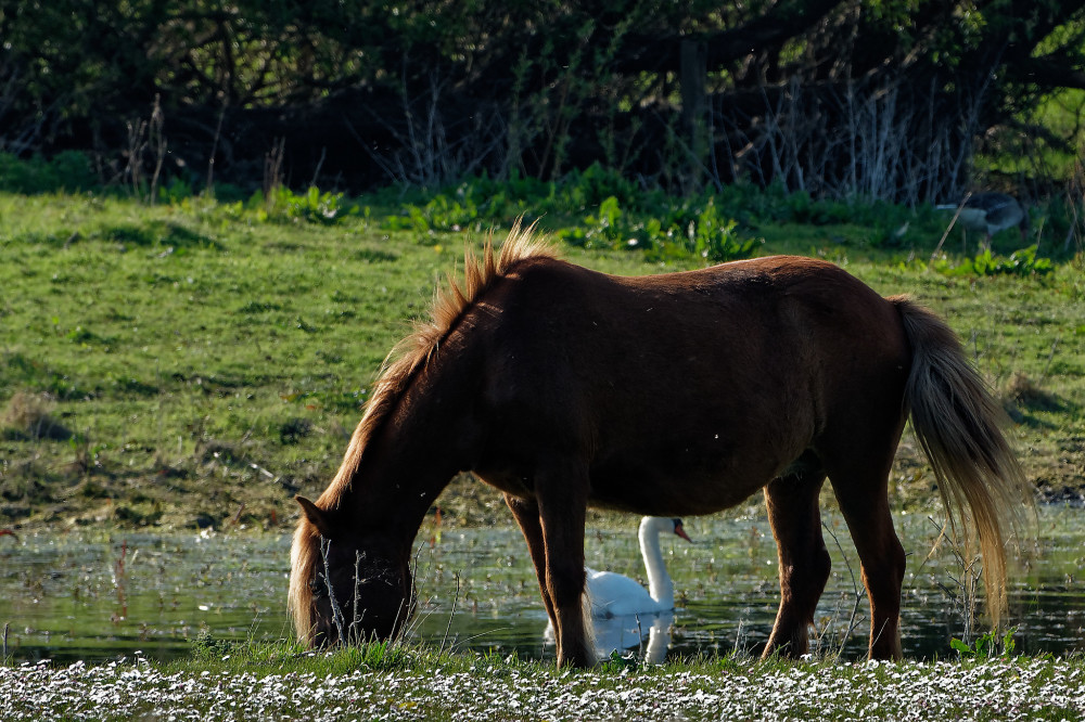 Horse and swan
