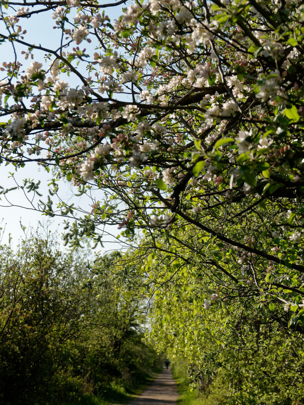Apple blooming by the pathway