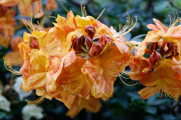 Orange-red rhododendron