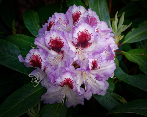 Rhododendron in red, white and green