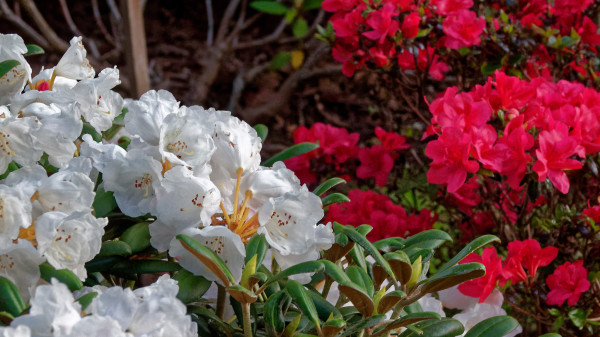 White and red rhododendrons