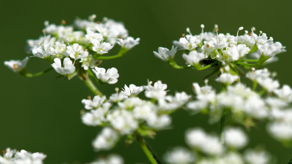 Tiny white flowers on green