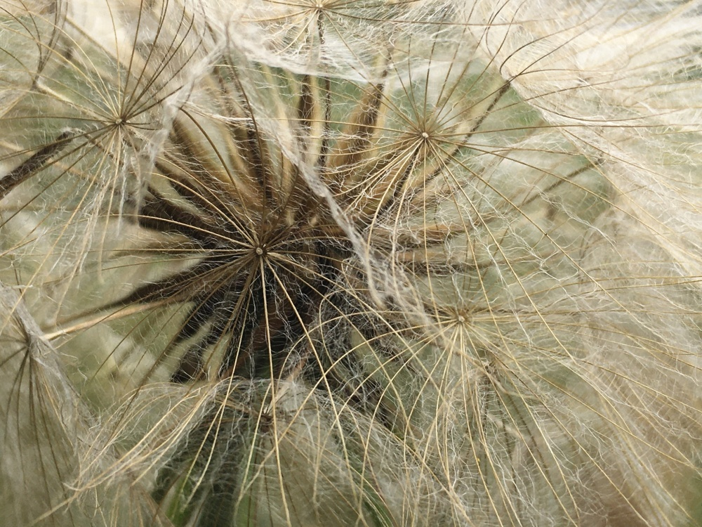 The inner parts of a dandelion