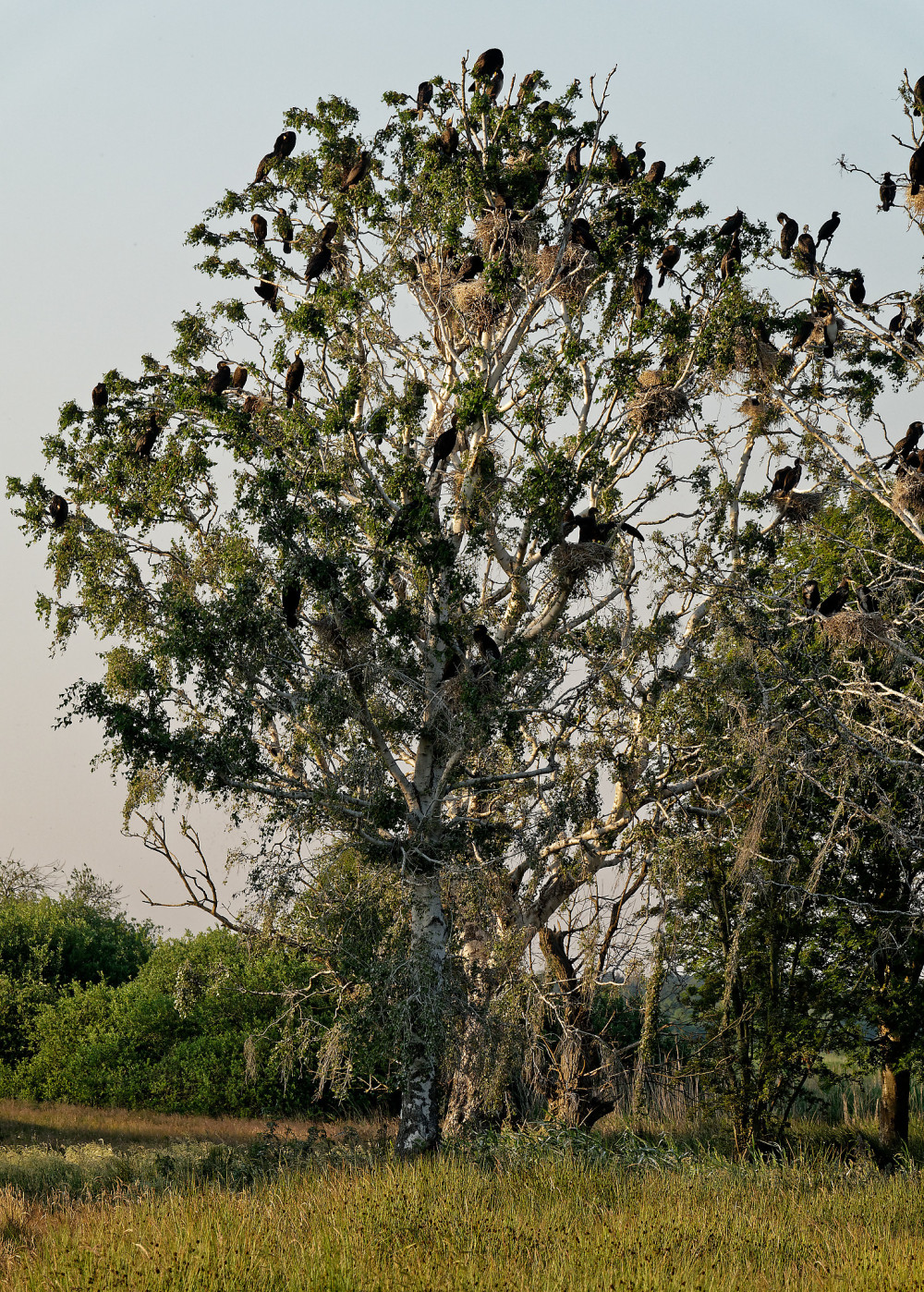 Tree of cormorant birds