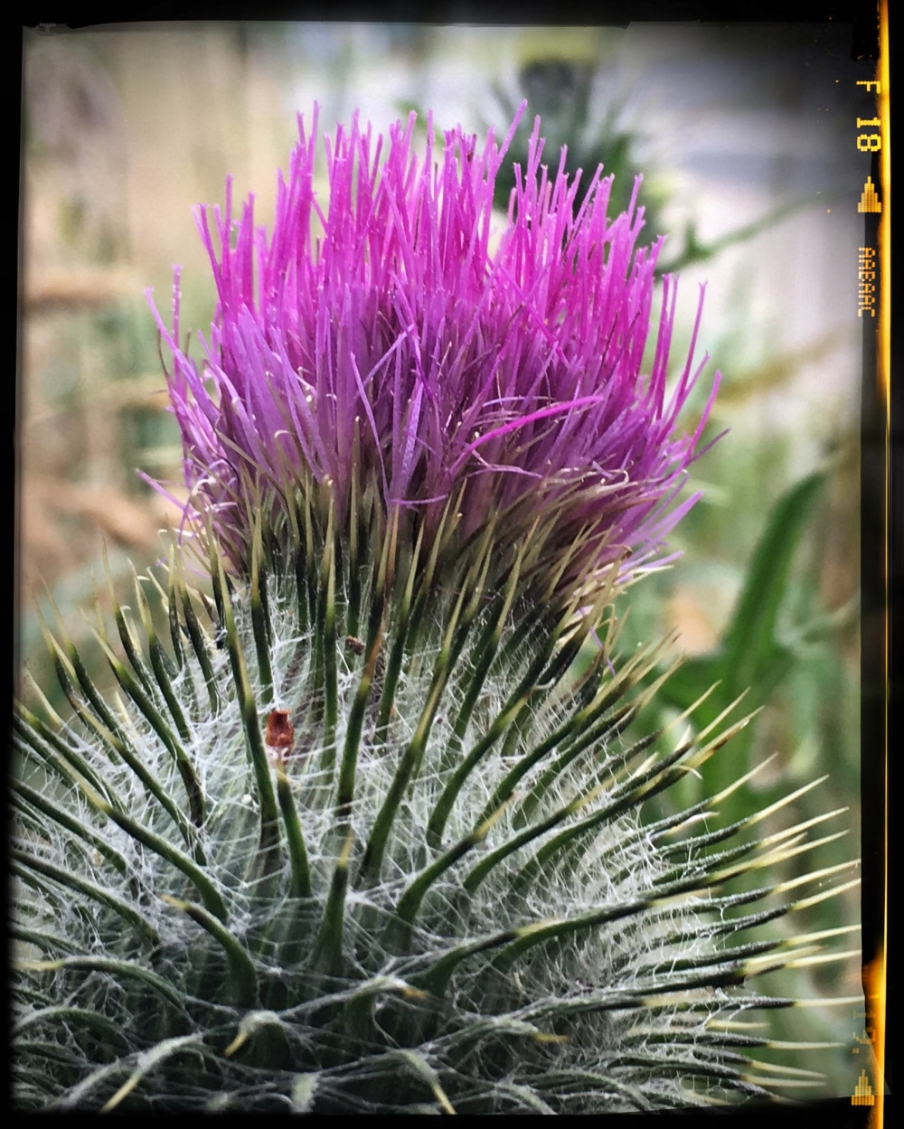 Thistle in closeup