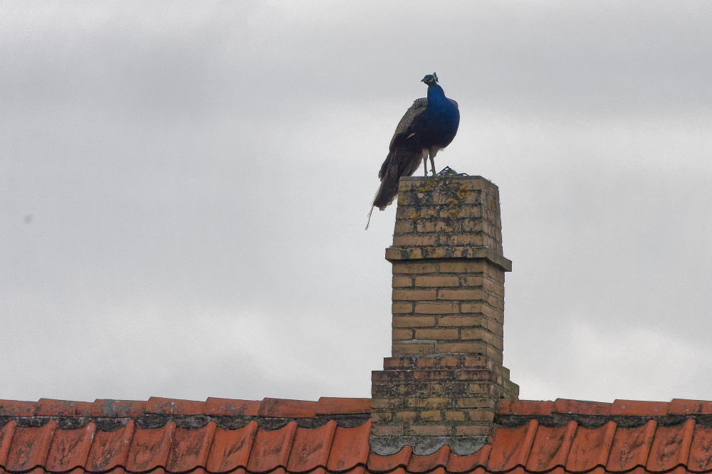 Peacock overlooking the area