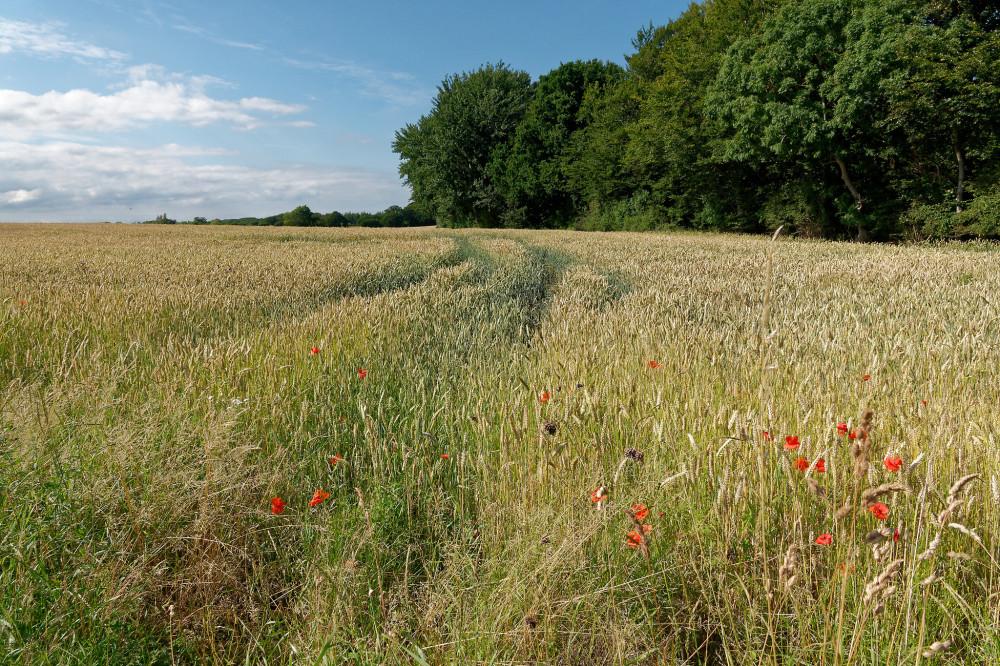 Corn field on Funen