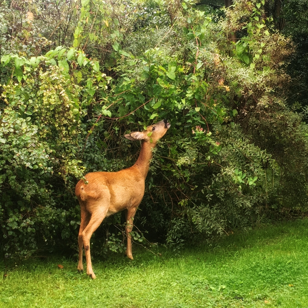 "Bambi"" enjoying the leaves of the bushes"