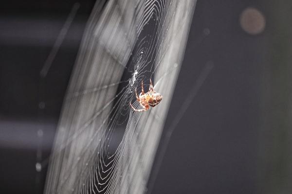 Cross spider (araneus diadematus) waiting for prey
