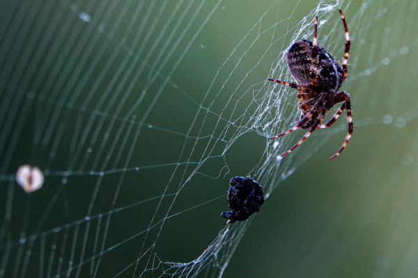 Cross spider with prey