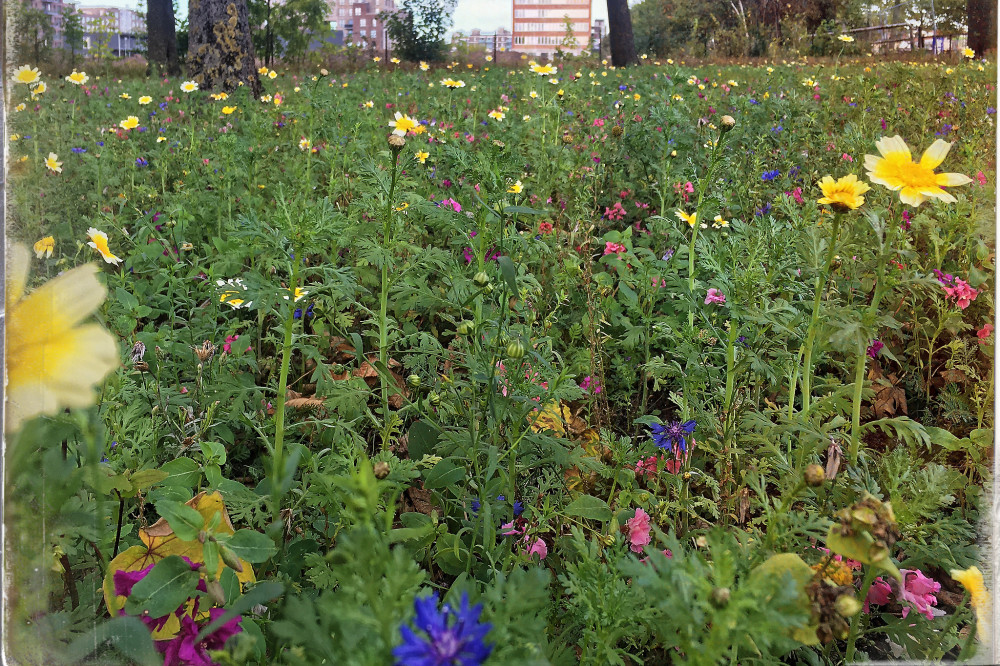 Field of wild flowers in town