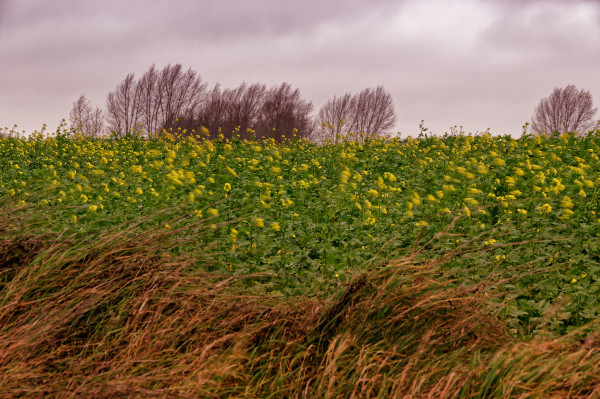 Field of mustard in strong wind