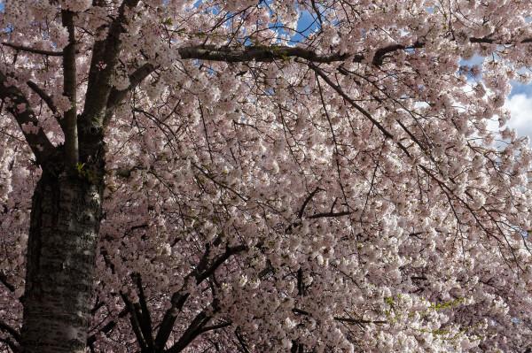 Japanese cherrytrees blooming