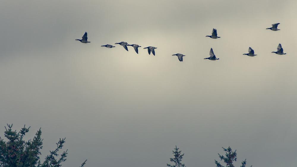"""Geese above """"Vejlerne"""""""