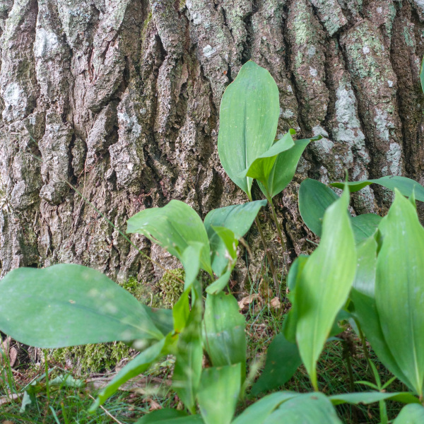 Old oak, young leaves
