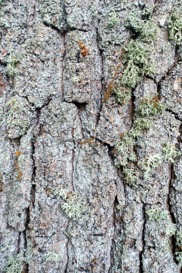Oak bark with livhen