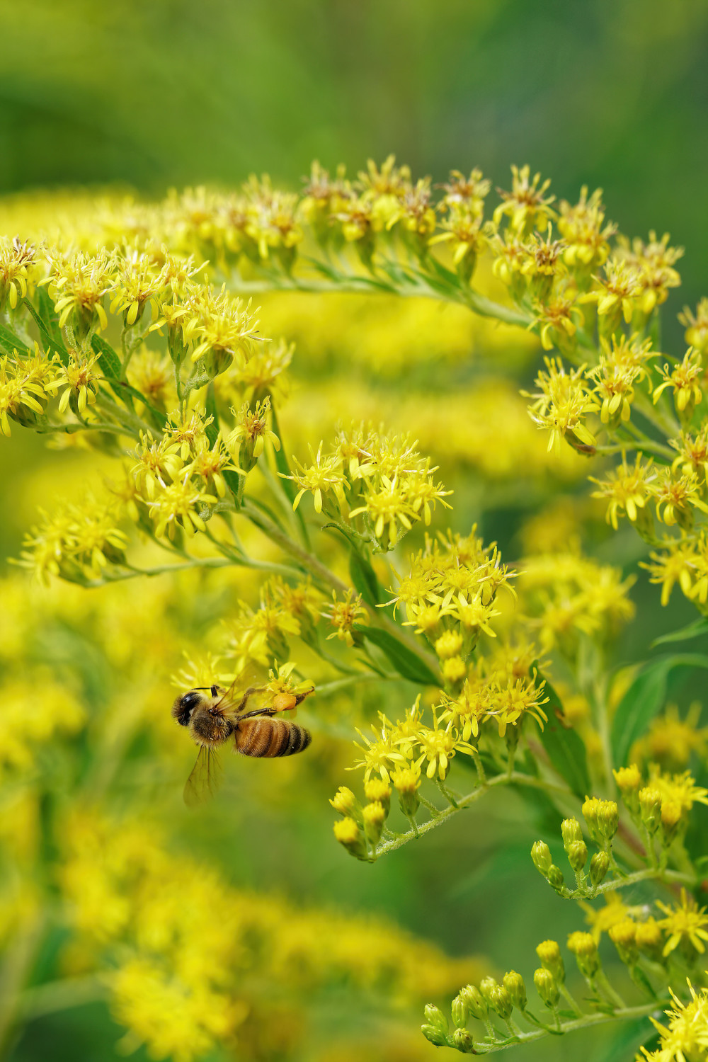 Bee collecting pollen in Goldenrod