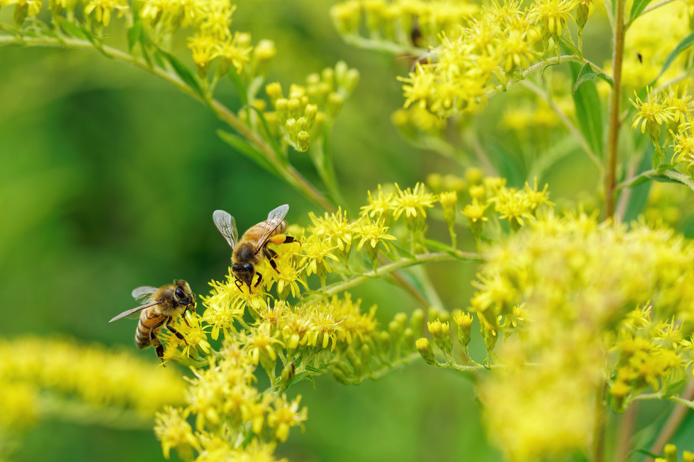 Bees enjoying themselves in Goldenrod