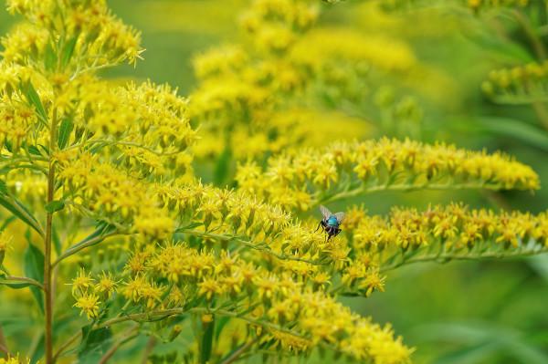 Fly sucking up pollen