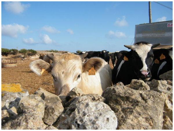 Vaques