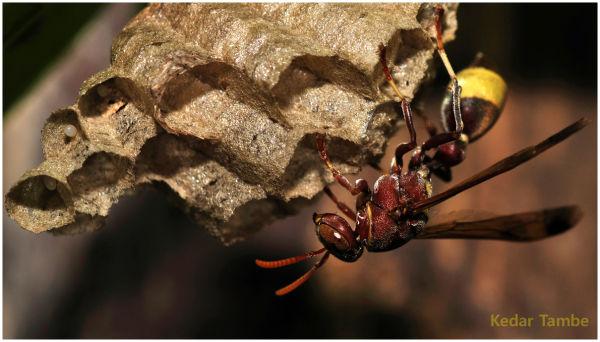 Wasp, Paper Wasp