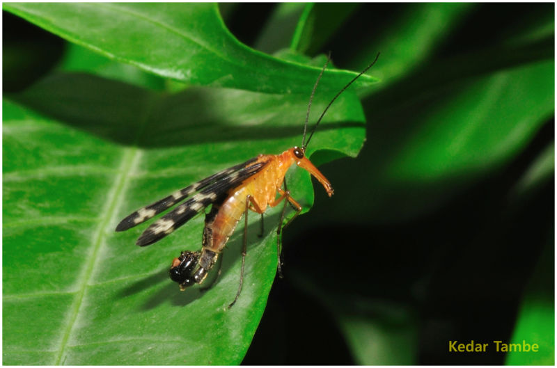 Scorpion Tail Fly
