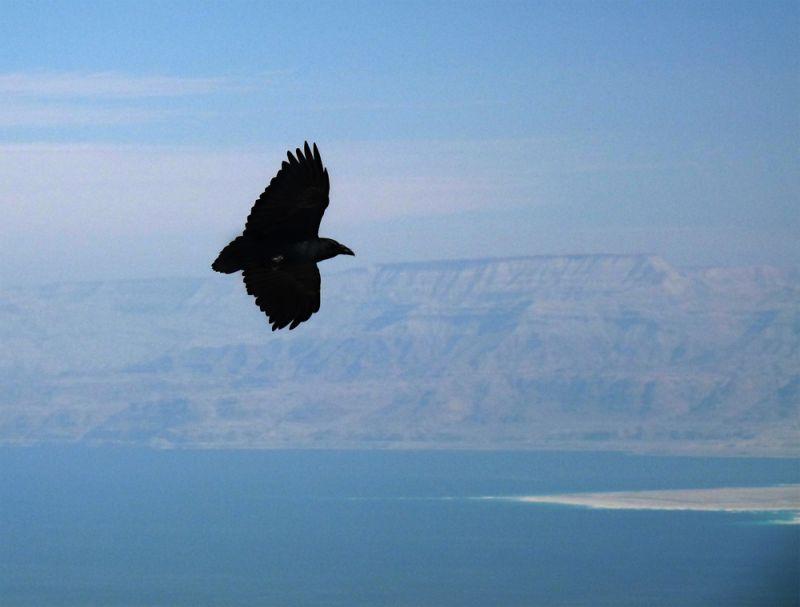 Raven in flight over the Dead Sea
