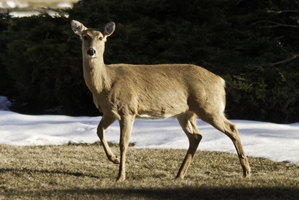 deer walking through snow melt