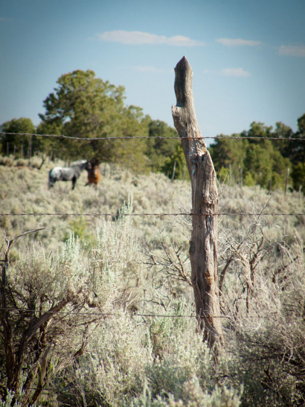 Horses grazing in the sagebrush, Gallup New Mexico