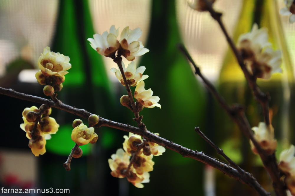 گل یخ chimonanthus