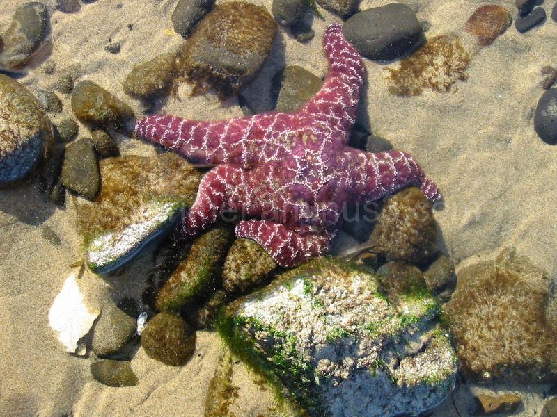 Starfish along the coast of Oregon