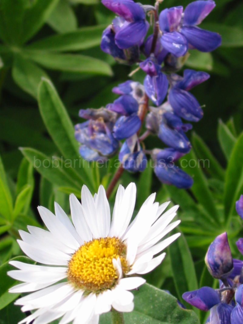 Lupine and a Daisy