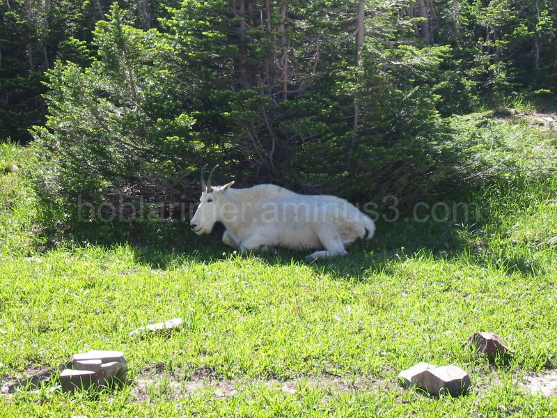 Mountain Goat along the trail to Hidden Lake