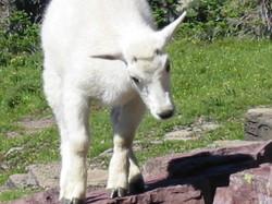 Baby Mountain Goat at Glacier N. P.