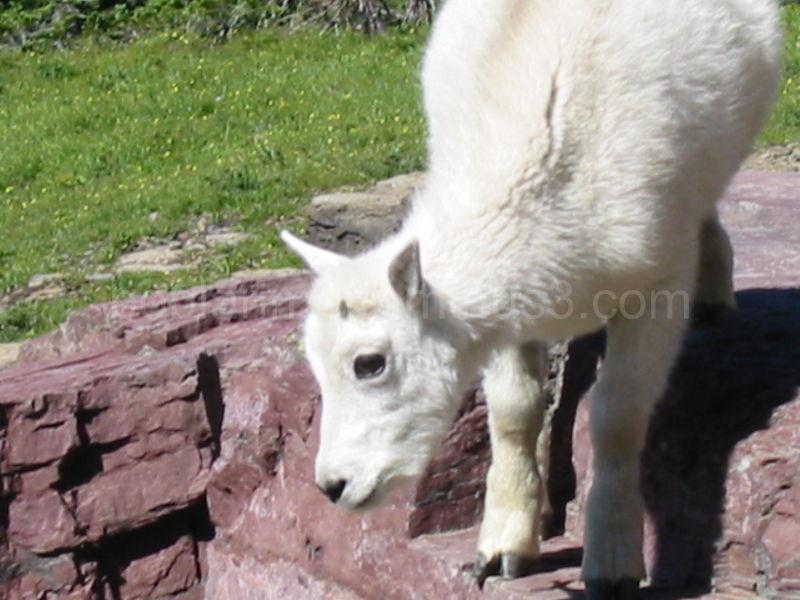 Baby Mountain Goat at Hidden Lake, Glacier N. P.