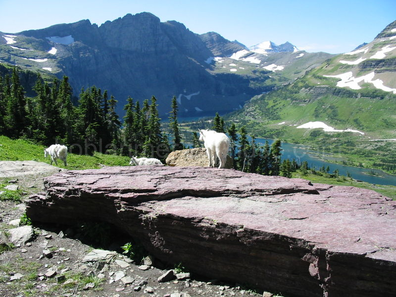 Mountain Goat Family at Hidden Lake, Glacier N. P.