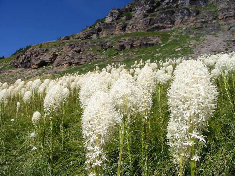Beargrass on the trail back from Hidden Lake