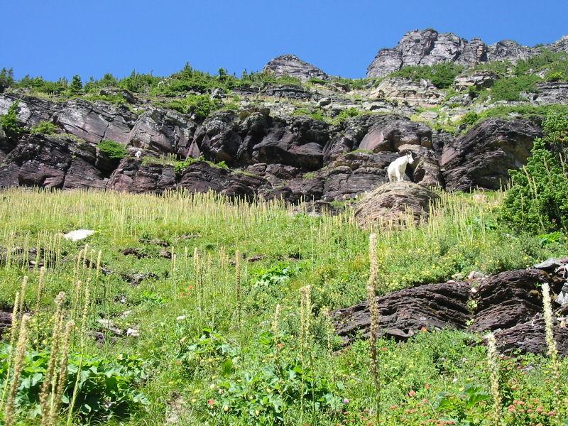 Mountain Goat on a Rock, Glacier N. P.