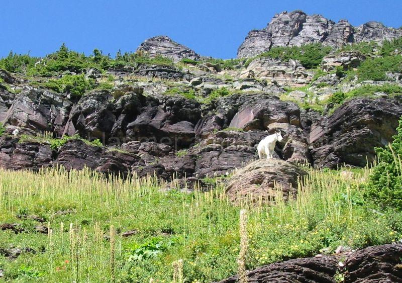 Mountain Goat on rock, Glacier N. P., MT