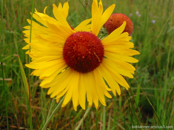 Yellow flower at Glacier