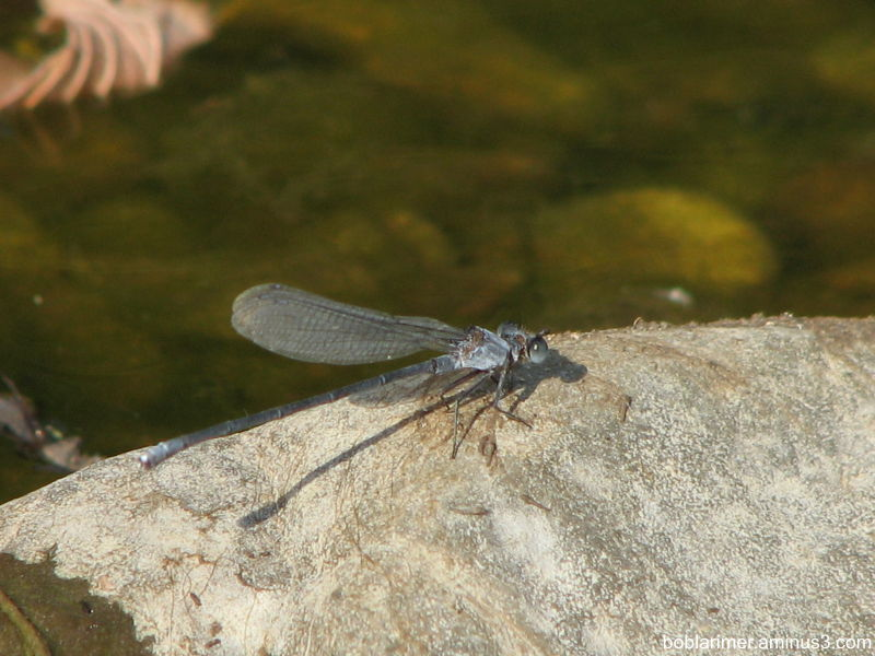 Dragon Fly on a Rock