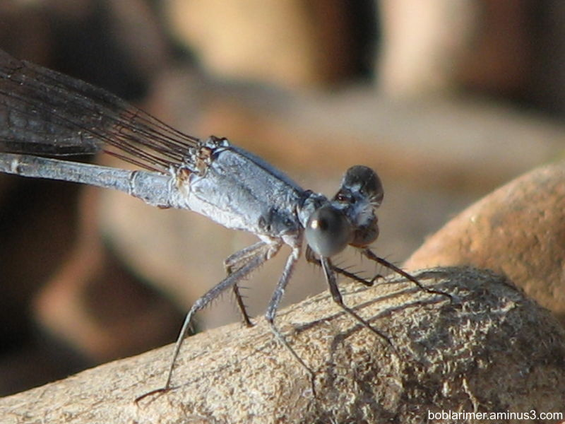 Dragonfly - closeup
