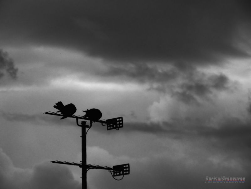 Collared doves under a stormy sky